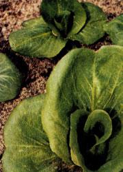 Выращивание салат пала росса 4