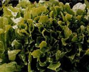 Выращивание салат пала росса 40