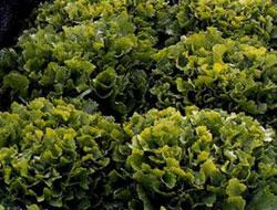 Выращивание салат пала росса 33