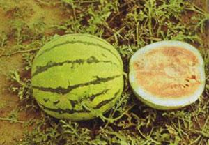фото кормовой арбуз